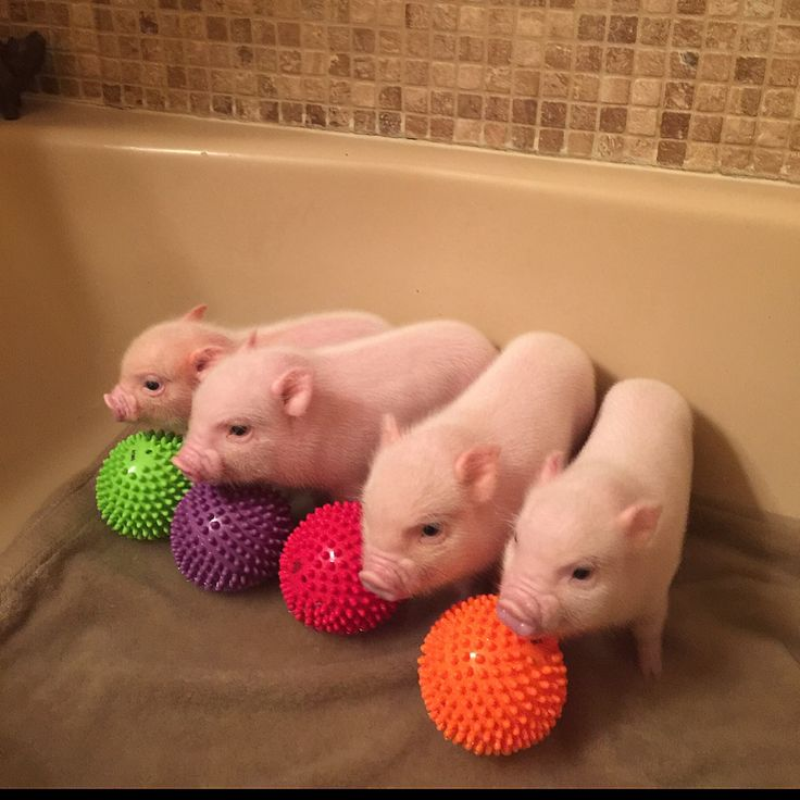 Best 20+ Baby pigs ideas on Pinterest
