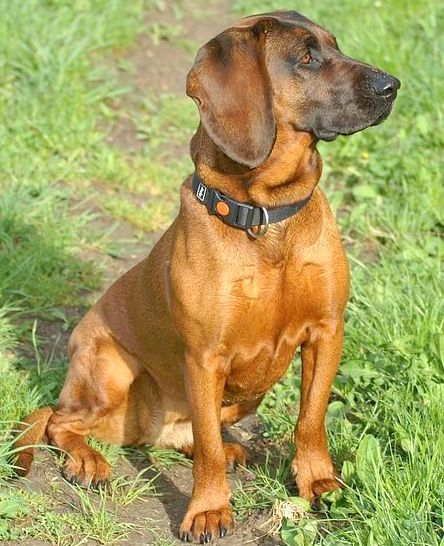 @breedferrell I don't think Roberta is remotely this breed but I think she's going to look a lot like this full grown. Bavarian Mountain Hound