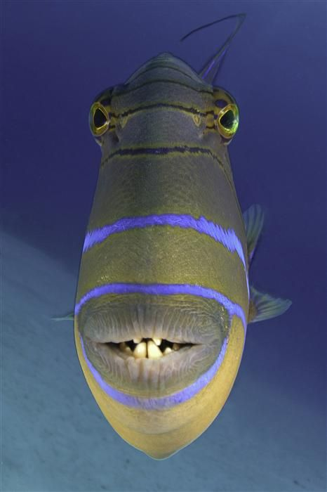 Queen Triggerfish Teeth 1000+ images ab...