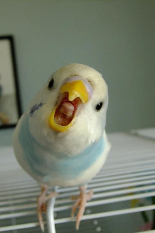 Muhabbet Kuşu Sesleri Goygoycu ötmeler Muhabbet Kuşu Ağzı Açık