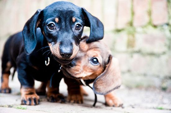 71 Best Images About Baby Weiner Dogs On Pinterest