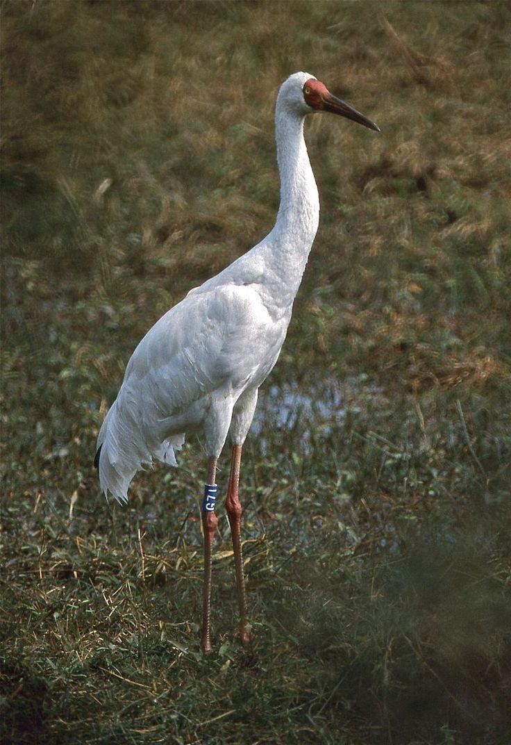 девушки белый журавль фото птицы юрга собрал себе