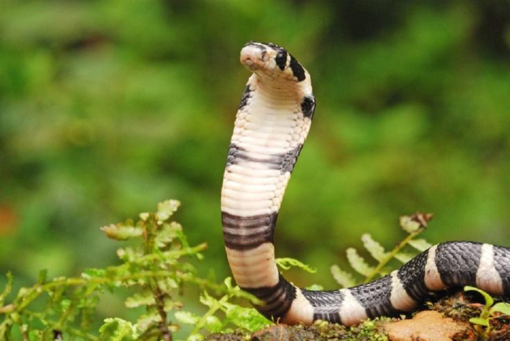 King Cobra at Agumbe, Karnataka State, India.