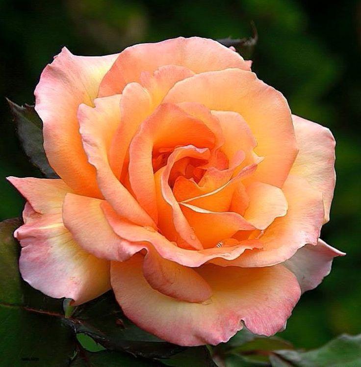 apricot rose blumen pinterest rose malen und blumen. Black Bedroom Furniture Sets. Home Design Ideas