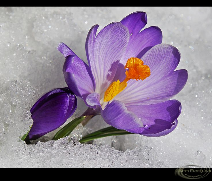 Purple crocus in our garden after a rare snow fall in mid-March...taken by myself - ©Ann Badjura