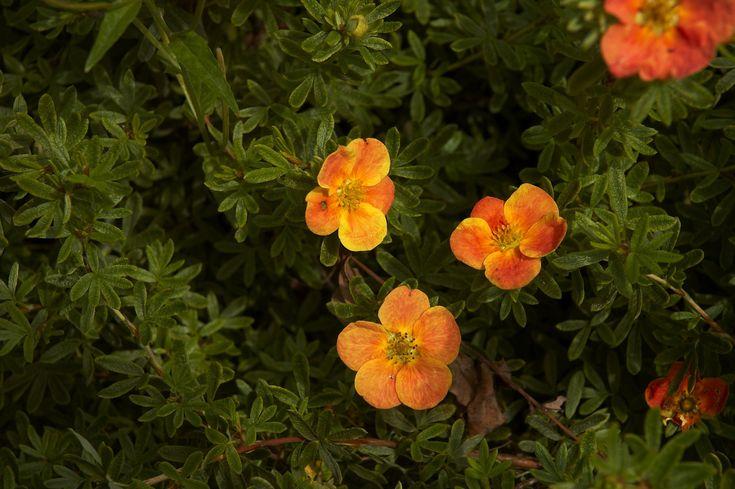 Сад непрерывного цветения: декоративные кустарники :: Флорибунда