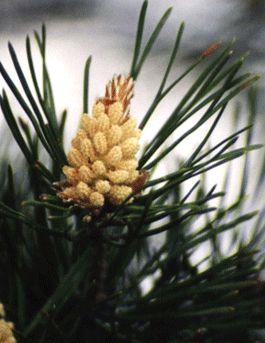 Pine - 3° chakra - sensi di colpa