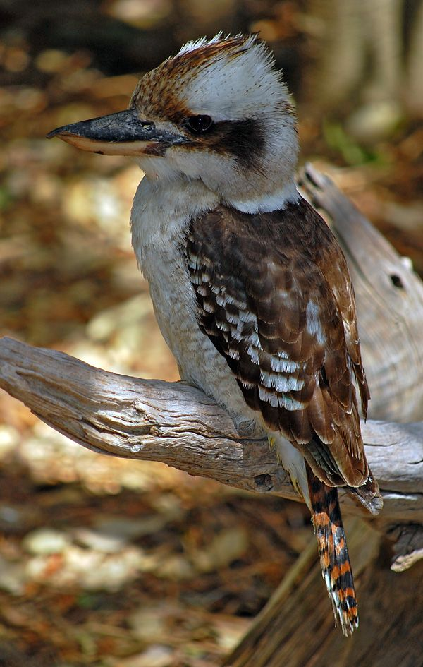 Australian Laughing Kookaburra.  Listen to his laugh at:  http://www.youtube.com/watch?v=S0ZbykXlg6Q