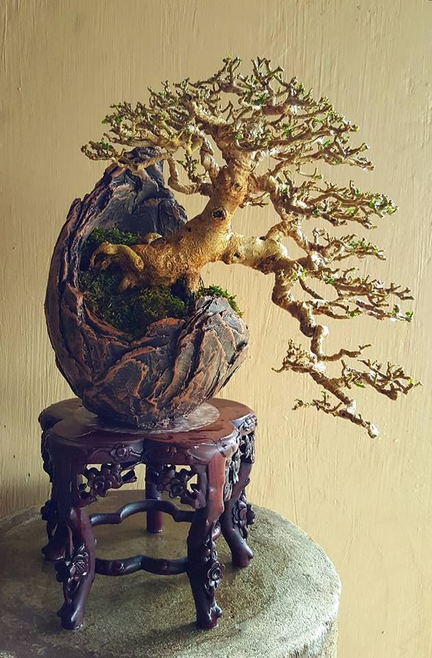A shohin/mame bonsai by Sonny Luna in the Philippines. This is the picture of the defoliated tree that shows the ramification well. There is another pin on the board.