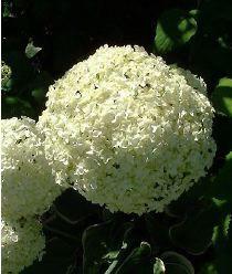 Hydrangea arborescens Annabelle 2a