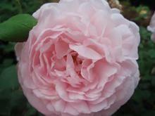 Rose Eglantyne (engelsk rose)