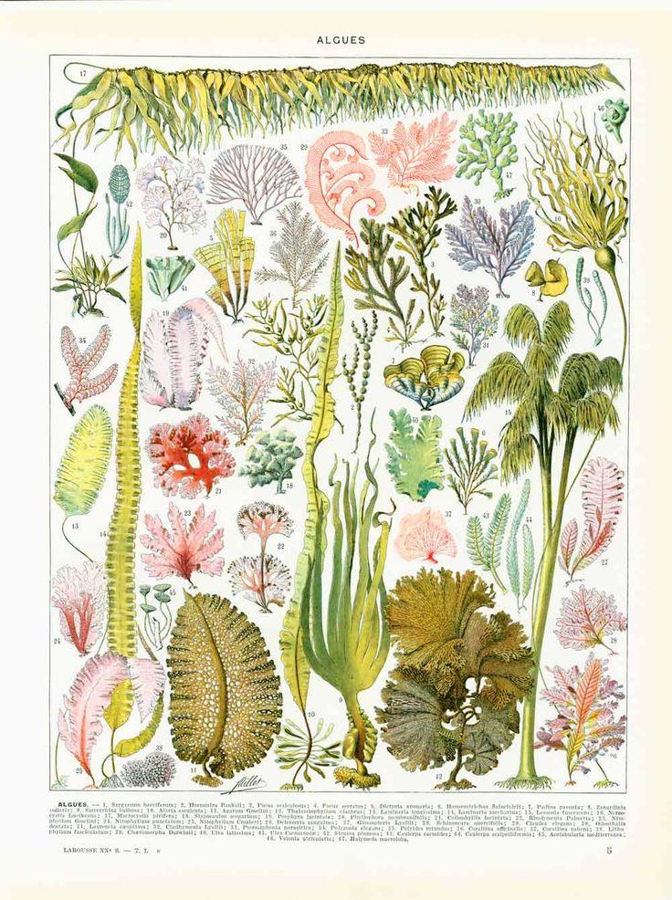 1933 Algues, Planche identification Larousse, Botanique, Phycologie, Algologie, Végétaux Aquatiques Marins de la boutique sofrenchvintage sur Etsy