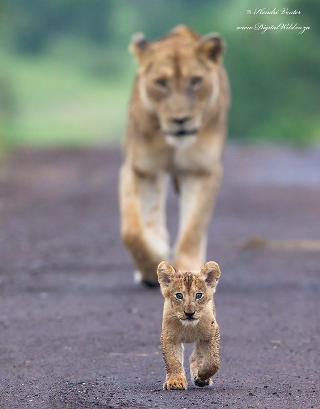 Follow the lion cub. Kruger National Park, South Africa. Wildlife photography by Hendri Venter