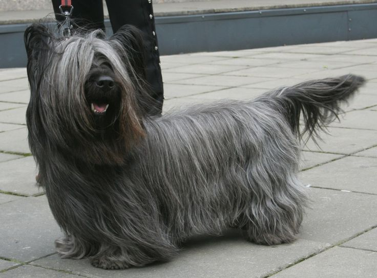 8 Breeds That May Not Exist in Ten Years-One of the most popular dogs for close to five hundred years, it's been reported there were only forty-two Skye Terrier puppies registered last year in the UK. There are approximately three thousand Skye Terriers in the world.