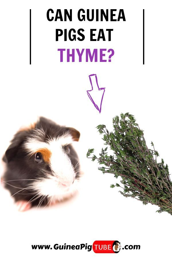 Pin On Guinea Pig Care