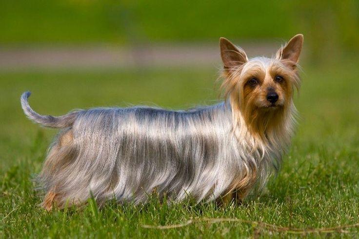 Австралийский шелковистый терьер — одна из самых маленьких рабочих собак.  Она используется как пастух, охранник, охотник на хищного зверя, змей и грызунов, а также просто как компаньон.