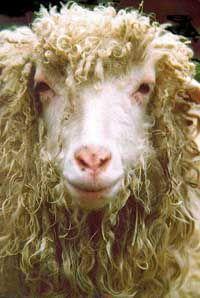Spinderell Fiber Mill - SLC, Utah: Farm Animals, Photos Sheep, Sheep Goats, Google Search, Sheep Animals, Lamb, Animal Photos, Animals In