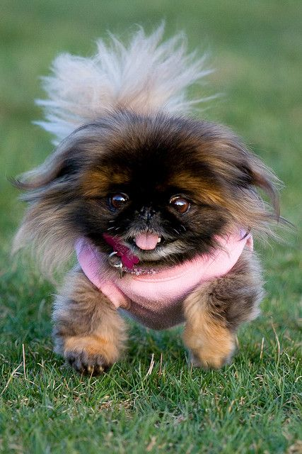 Pekingese Originally bred as companions for royalty in China, these dogs have the calm composure that would have been expected of a palace pup. Low energy and affectionate, he'll be happy sitting at your feet as you relax. They're likely to let out a warning bark if they find cause for alarm, but generally are not yappy or noisy.