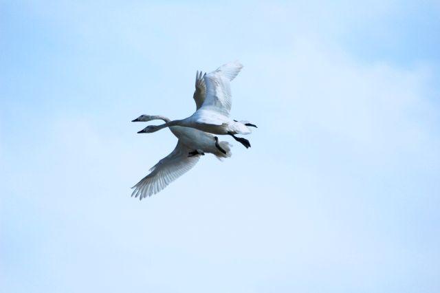 """☆共和AMEL名言集☆  NHK朝ドラの中で五代友厚が「あさ」と「新次郎」の夫婦仲を""""比翼の鳥""""とたとえました。 これは中国唐代の詩人白楽天が詠んだ叙事詩の一節の中にある言葉です。  「天にあっては比翼の鳥となり、地にあっては連理の杖とならん」  「比翼の鳥」とは""""翼を並べて飛ぶ""""こと。 「連理の杖」というのは近くに生えた二本の木が合わさって合体し木口や木目が連なること。  当時、玄宗皇帝が揚貴妃に語ったと言われています。 「比翼の鳥」のようだといわれる夫婦関係、いいですよね^o^ 現代では、夫婦仲のよいことに例えられています。  #名言  [共和薬品工業URL] http://www.kyowayakuhin.co.jp/"""