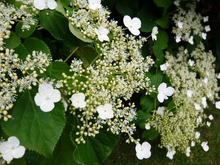 Best 25 hydrangea petiolaris ideas on pinterest white - Hydrangea petiolaris ...