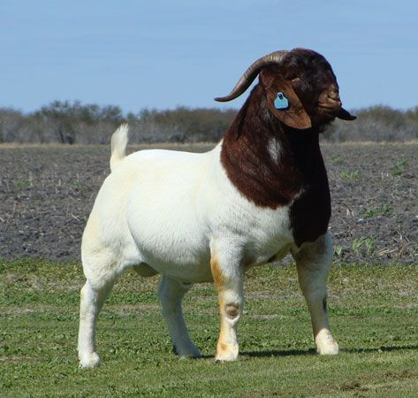 Cute Male and Female Pet Goat Names You'll Surely Love