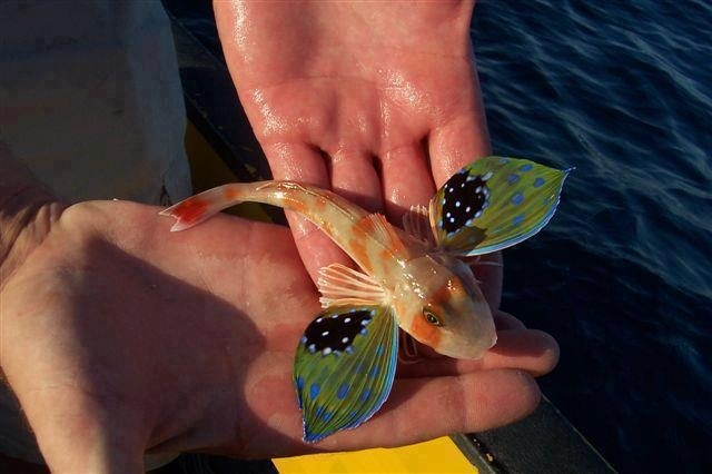 Butterfly of the sea also known as a sea robin or for Where do flying fish live