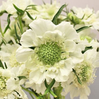 FiftyFlowers.com - White Scabiosa Flower