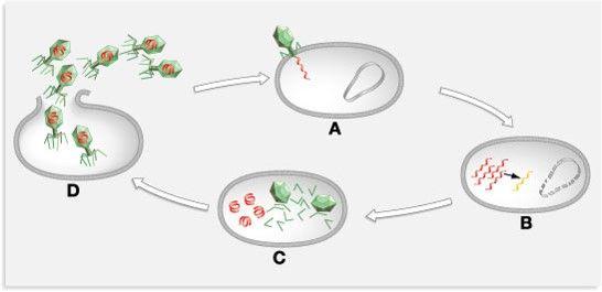 Viruses- Lytic Cycle