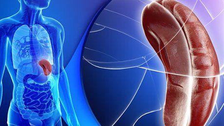 Селезенка — «сердце» лимфосистемы нашего тела