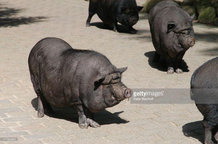 Hängebauchschwein, Wildpark Schwarze Berge, Rosengarten-Vahrendorf (bei H A M B U R G), Niedersachsen, Deutschland, Europa, Schwein, Tier, Reise,