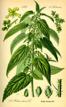 Healthy Properties of Nettle tea   (I use my own plant, I don't buy from this company)