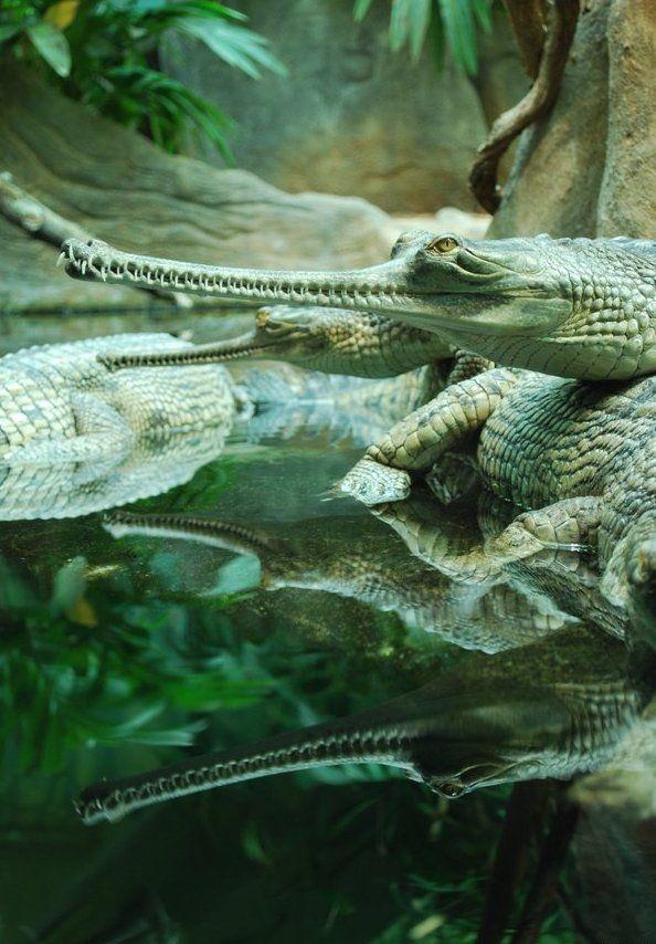 The Gharialss (Gavialis gangeticus, Gaviál indický ) - very rare and endangered animal from ZOO Prague