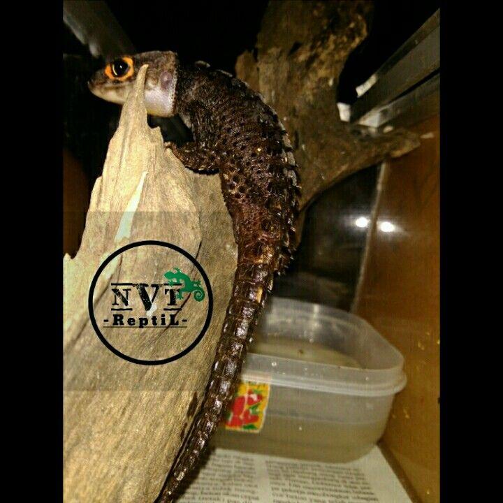 Crocodile skink, my pet. His name Jimmy.. I love him.. My little boy....