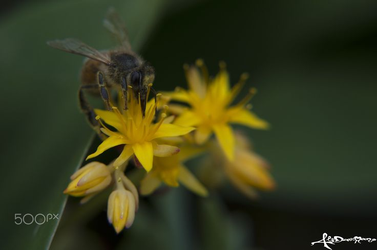 bee at work - The busy bee has no time for sorrow