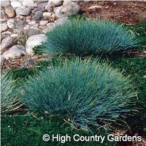 1000 images about texas smartscape north central tx for Ornamental sea grass