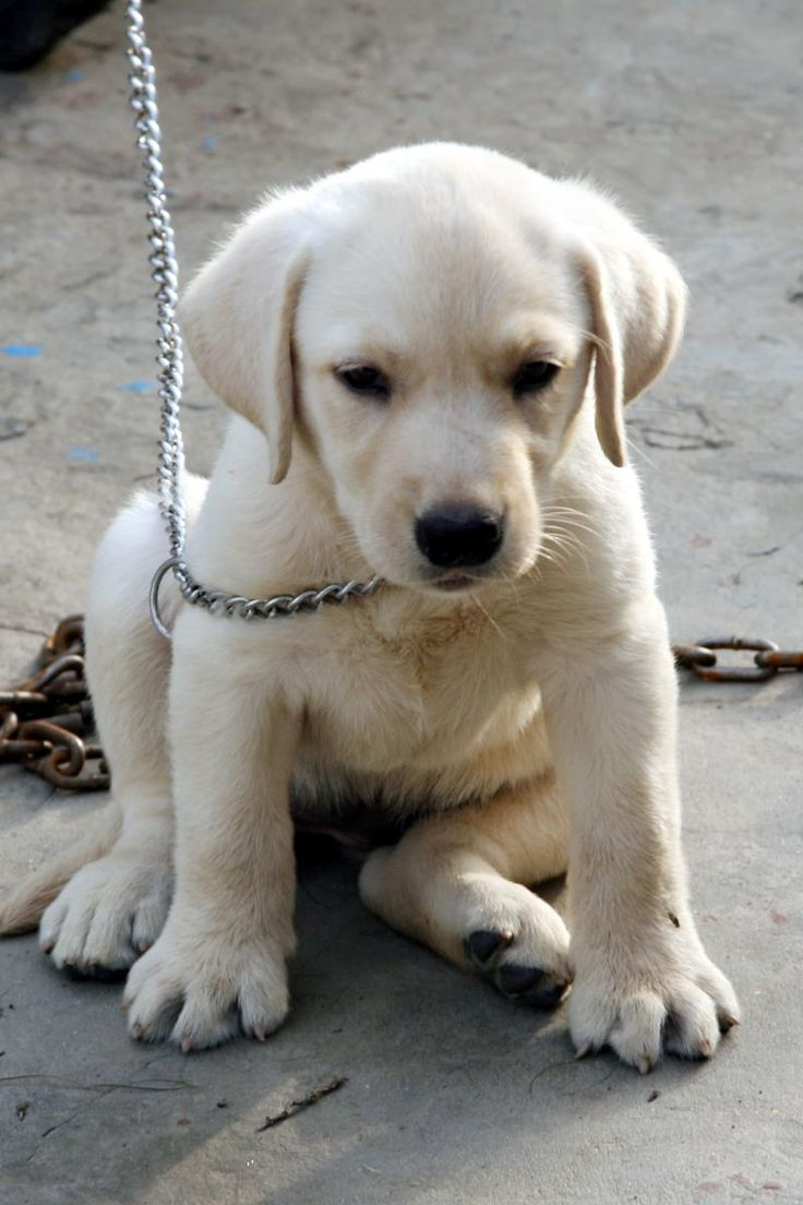 white Labrador retrievers bag  | Labrador Retriever Price in India,Labrador Retriever puppy for sale in ...
