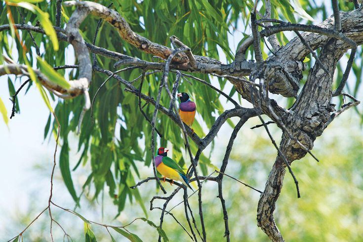 """""""How Australia's Aborigines Are Using Fire to Save the Dazzling Gouldian Finch - A new burn program led by Kija rangers is helping bring back the beloved birds while delivering hope to an impoverished community."""""""