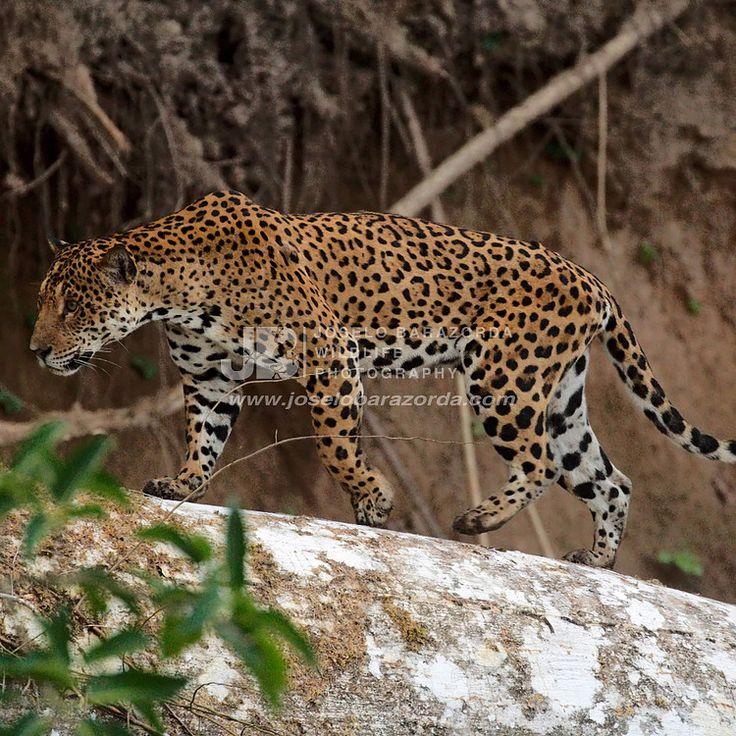 Jaguar 1 (square)