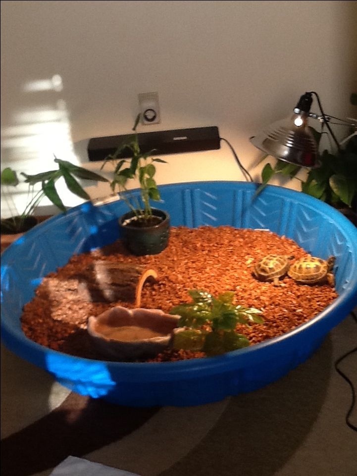 Russian Tortoise habitat. A kiddie pool idea, and they love it!