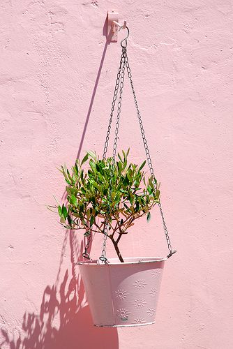 How to Grow an Olive Tree in a Container.  I really want to have an Olive tree.