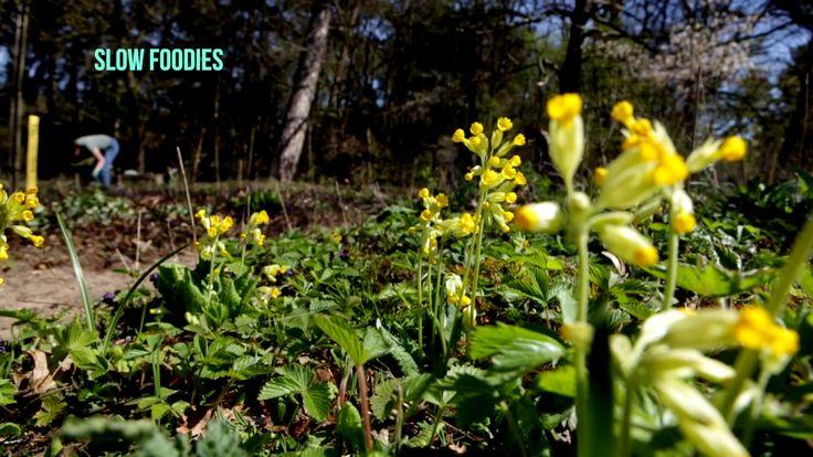 De sleutelbloem (Primula veris) bloeit in het voorjaar. De bloemen kun je als versiering in salades gebruiken.