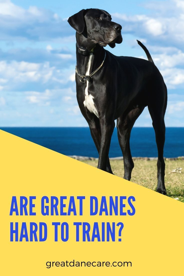 Great Danes Are Of Average Intelligence But Love To Please Learn