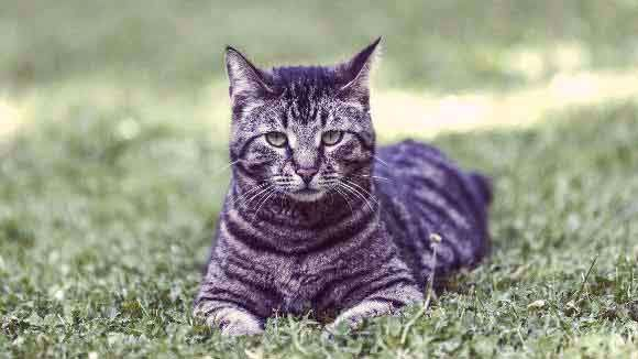 Maggottail Mate Kits Mentor To Sparkpaw In 2020 Grey Cat Breeds Tabby Cat Tabby Kitten