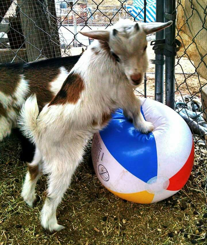 238 Best Baby Goats Images On Pinterest