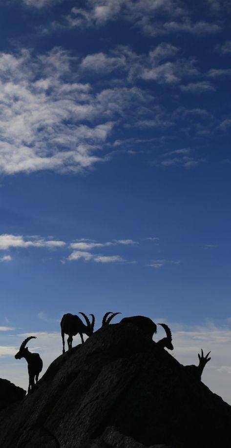 Steinböcke auf der Cadlimohütte im Tessin Foto: Toni Kaiser, Wandermagazin SCHWEIZ