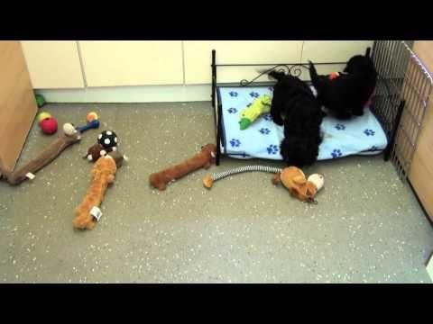 Little Rascals Uk breeders New litter of black Cavapoo little boys - Pup...