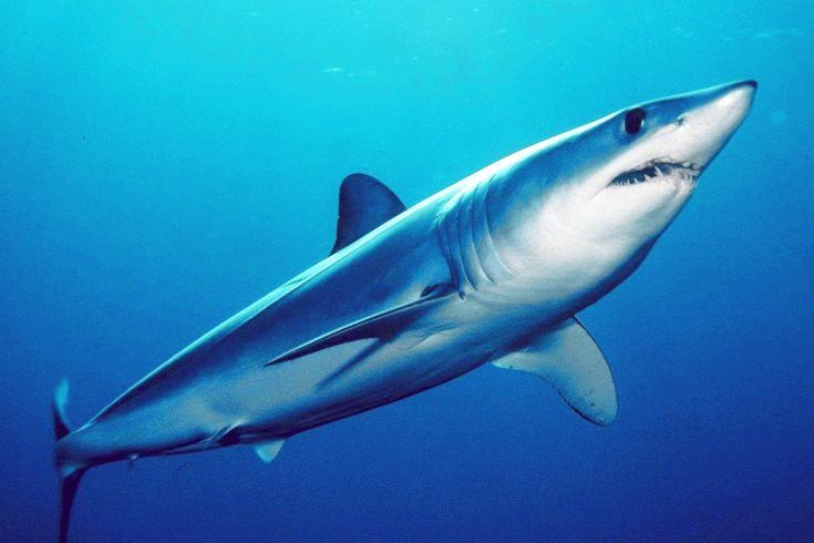 "Tiburón Mako ""Isurus Oxyrinchus"""