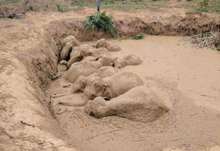 (Video) Vea el emocionante rescate de 11 elefantes que cayeron en una trampa