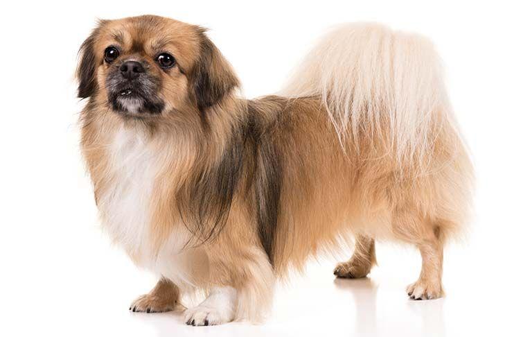 Tibetan Spaniel Dog Breed Information Tibetan Spaniel Spaniel Puppies Purebred Dogs