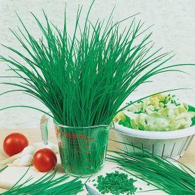 GRÄSLÖK 'Medium Leaf' (3045) | Odling: Förkultiveras inomhus i mars- april | Odlas på friland eller i kruka.